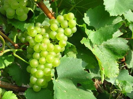 ワイン用葡萄品種シャルドネ