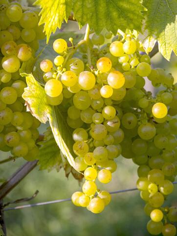 白ワイン用ブドウ品種ソーヴィニョンブラン