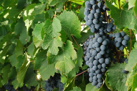 ワイン用葡萄品種マルベック
