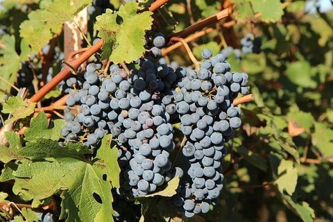 赤ワイン用ぶどう品種メルロー